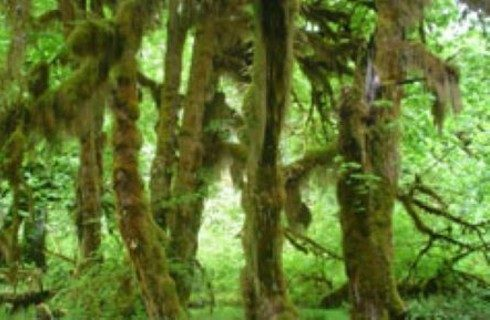 Dense rainforest trees covered in thick leaves and green moss