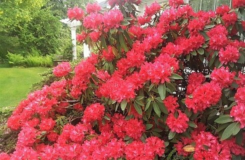 Large bush full of bright red flowers with lawn and white pergola in the background